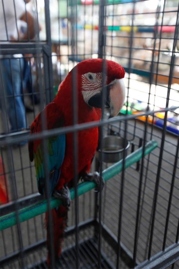 Brazilian macaw.